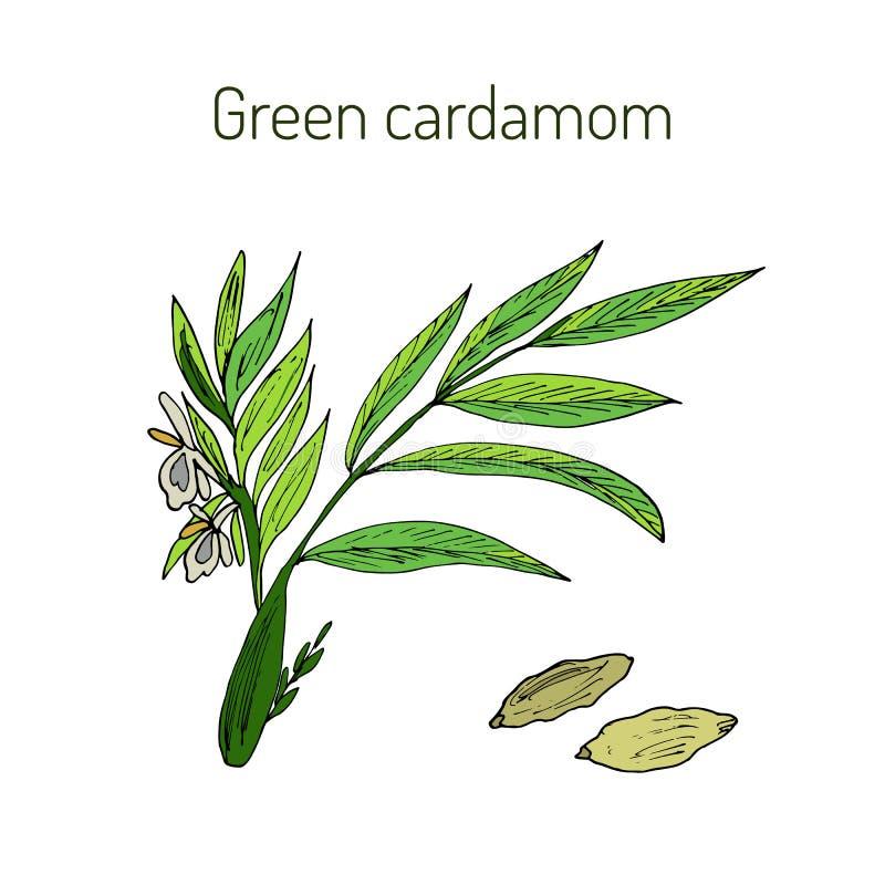 Aromatycznej rośliny zielony lub prawdziwy kardamon royalty ilustracja
