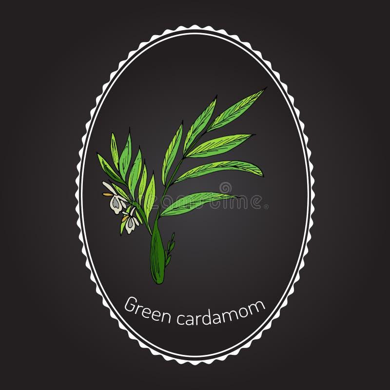 Aromatycznej rośliny zielony lub prawdziwy kardamon ilustracji