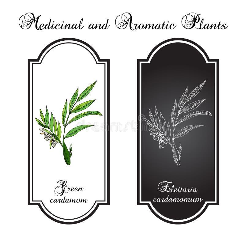 Aromatycznej rośliny zielony lub prawdziwy kardamon ilustracja wektor
