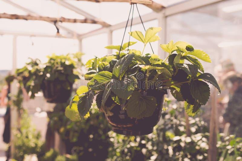 Aromatyczny miastowy dachowy ogród z truskawkowymi roślinami fotografia royalty free