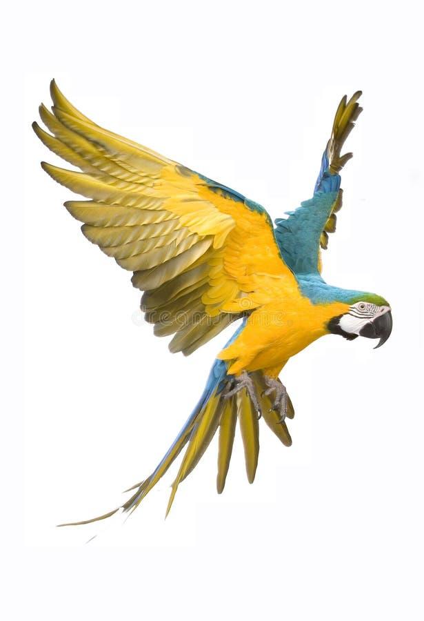 aronów jaskrawy latania papuga fotografia royalty free