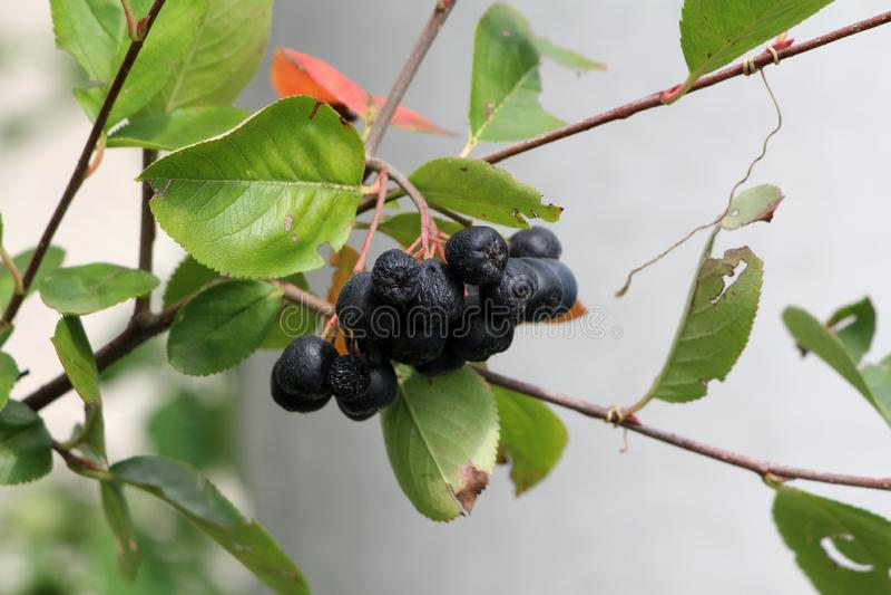 Aronia或堂梨属灌木植物用生长在唯一分支的束的多个成熟黑暗的莓果围拢与绿色叶子 免版税库存照片