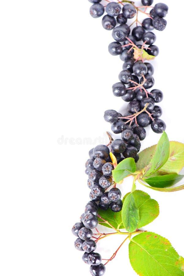 aronia莓果行边界或框架的 图库摄影