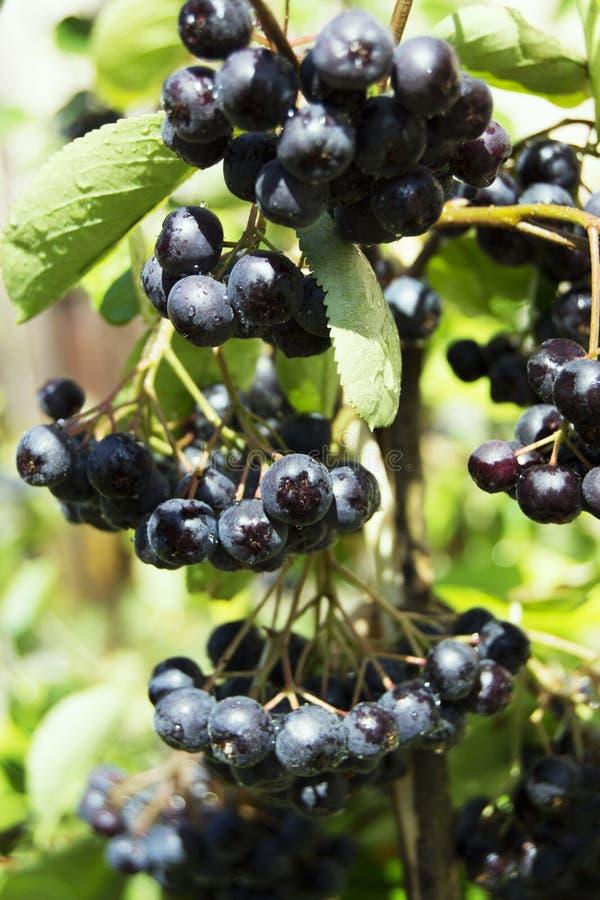 Aronia Berries stock photos