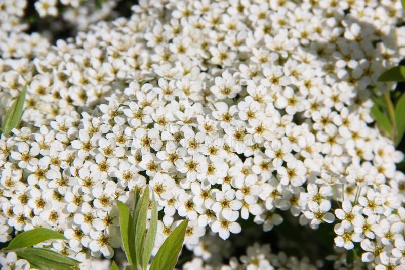 Aronia-Blumen Blumenstrauß Chokeberry Weiße Blüten Auf ...