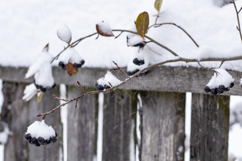 Aronia is covered with a first with fluffy snow in rural areas on a background of the old wood fence stock images