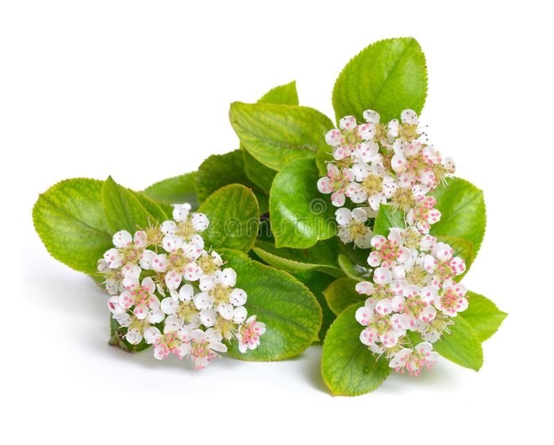 Aronia melanocarpa, called the black chokeberry. Flowers isolate stock images
