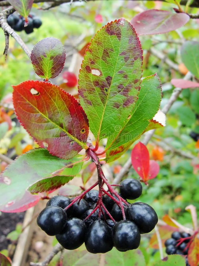 Aronia on tree close up. royalty free stock photography