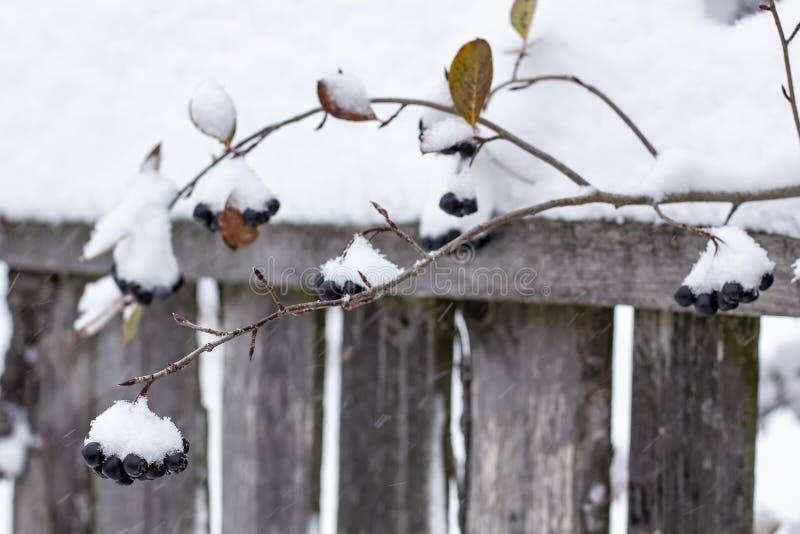 Aronia wird mit einem ersten mit flaumigem Schnee in den ländlichen Gebieten auf einem Hintergrund des alten hölzernen Zauns bede stockbilder