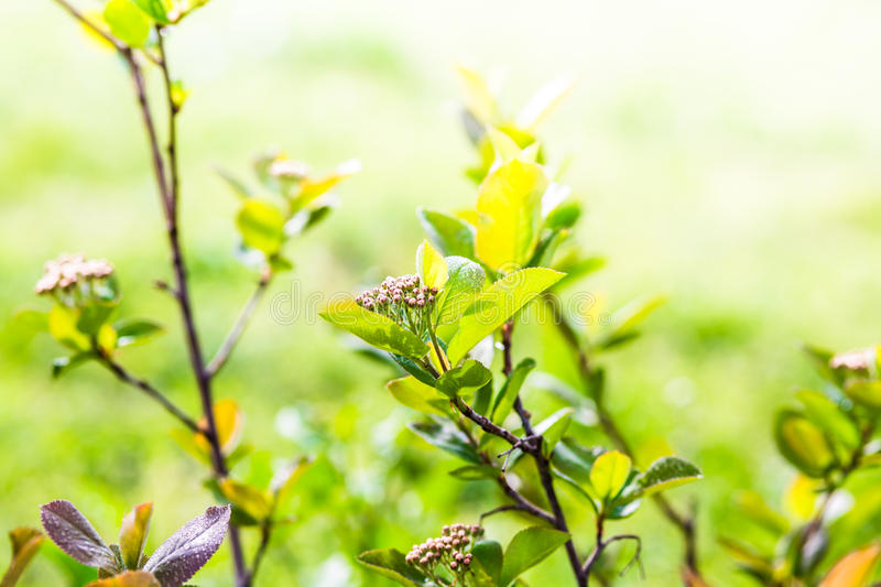 Aronia royalty free stock images