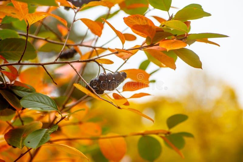 Aroniabessen die op een tak hangen stock fotografie
