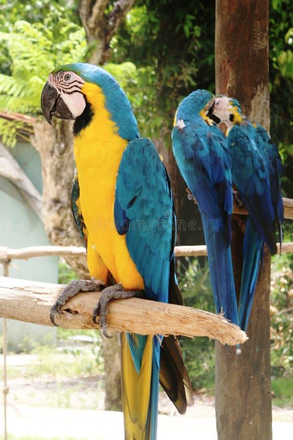 Aronu ararauna republika dominikańska Punta Cana zdjęcia stock