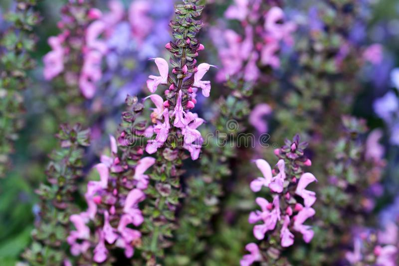 Pink Salvia or Sage flowers stock image