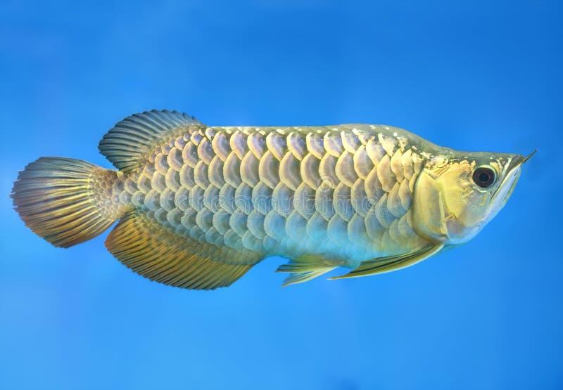 Arowana in acquario, questo è un pesce favorito con l'ente lungo, bella forma del drago variopinta fotografia stock