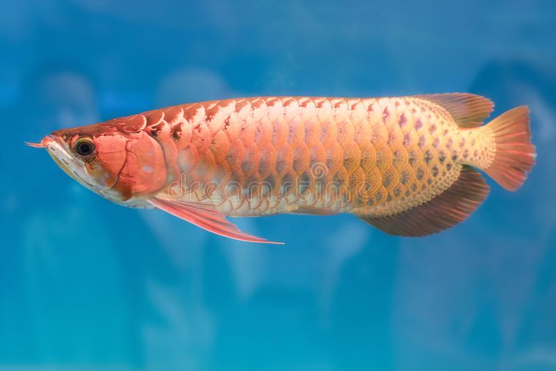 Arowana in aquarium, this is a favorite fish with long body, beautiful dragon shape colorful. For decoration in the aquarium in the rich family stock photo