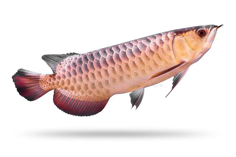 Arowana-Fische lokalisiert auf weißem Hintergrund Asien-Spezies ?ber Wei? stockfotografie
