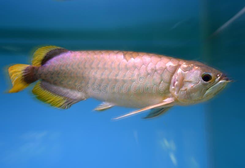 Arowana fish royalty free stock photos