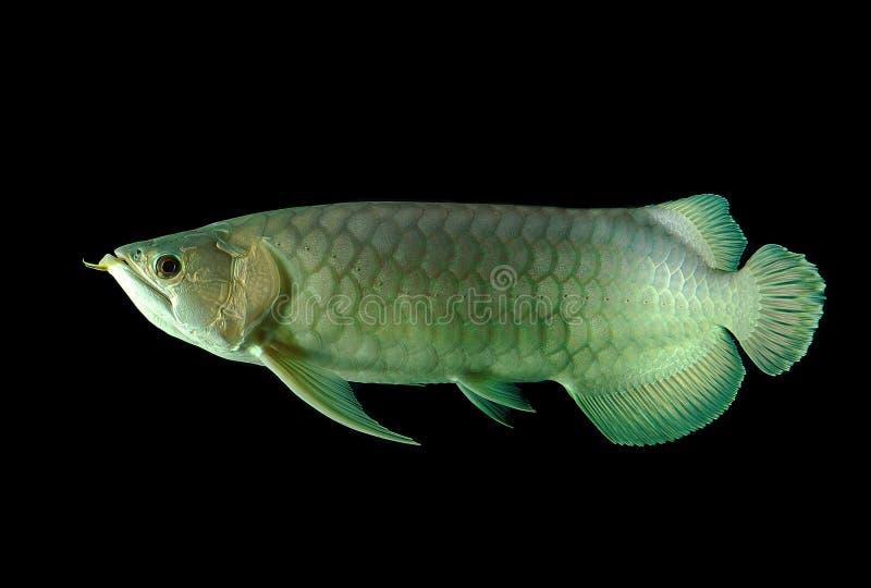 Arowana fish stock images
