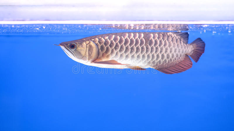 Arowana fish stock photos