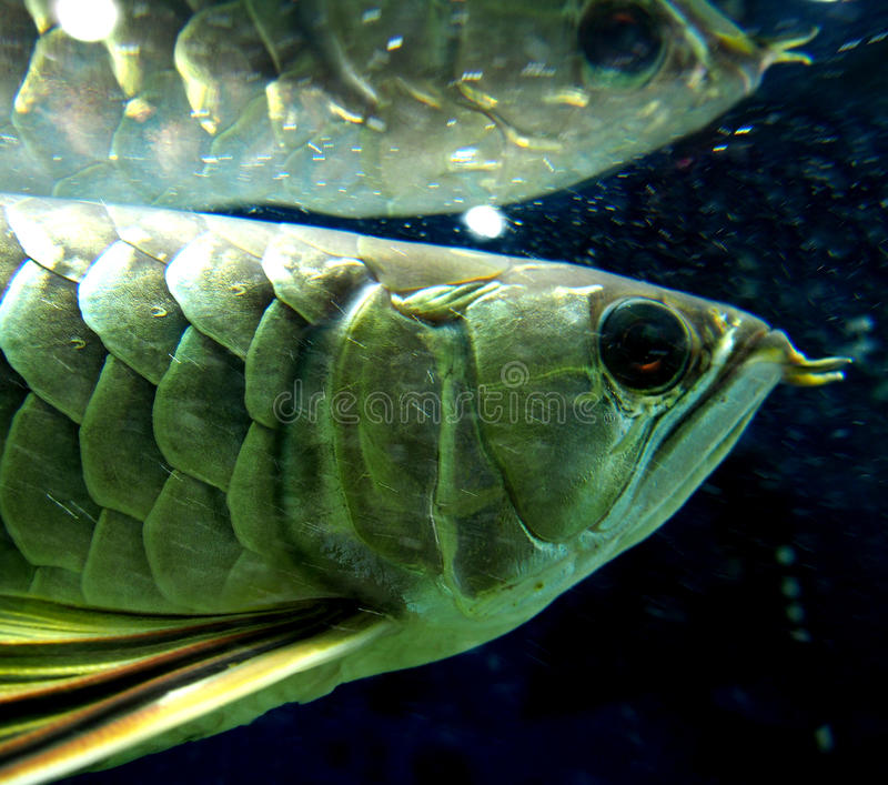 Arowana royalty free stock photos