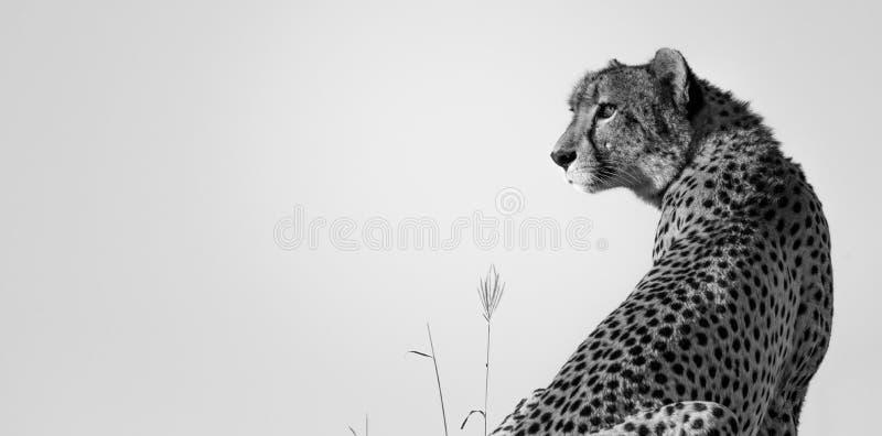 Arpenteur de guépard photographie stock libre de droits