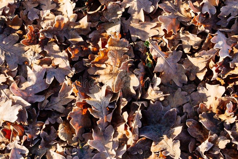 Arpet de ¡ de Ð des feuilles de chêne d'automne avec la gelée pour le fond photographie stock libre de droits