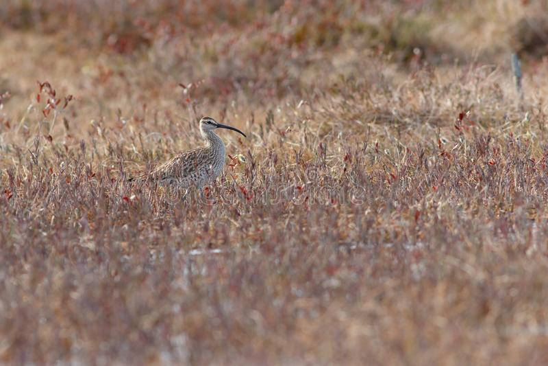 Arquata de Numenius de courlis cendré d'oiseau marchant sur le marais image stock