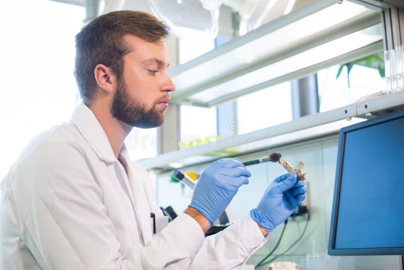 Arqueólogo que trabaja en laboratorio de investigación natural Huesos animales de limpieza del ayudante de laboratorio Arqueologí fotografía de archivo libre de regalías