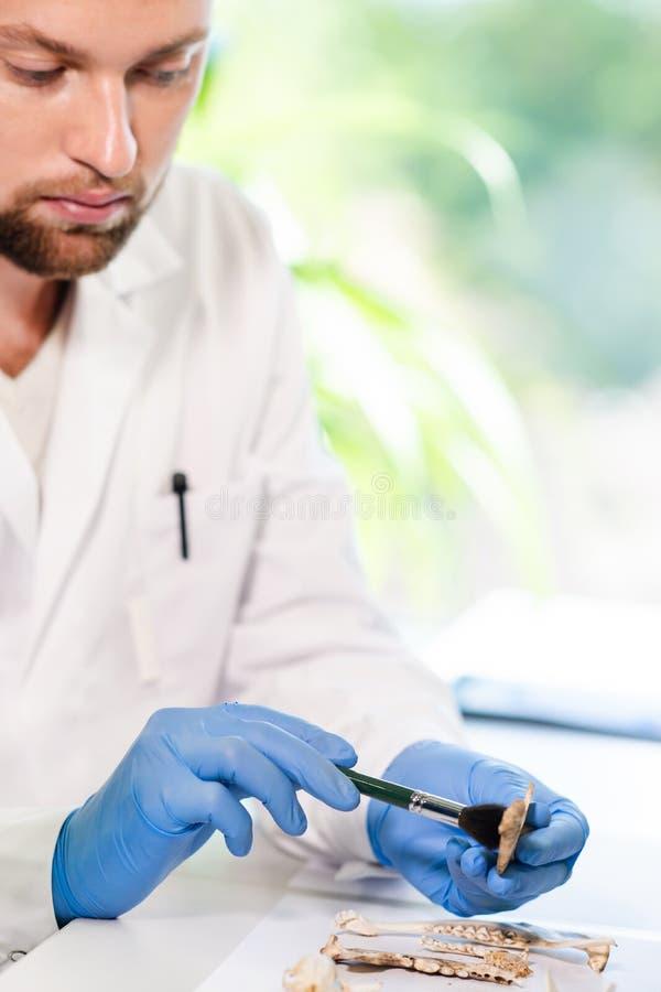 Arqueólogo que trabalha no laboratório de pesquisa natural Ossos animais de limpeza do assistente de laboratório Arqueologia, zoo fotografia de stock