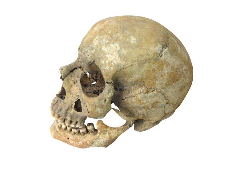 Arqueológico velho encontra o crânio humano do crânio isolado no branco imagem de stock
