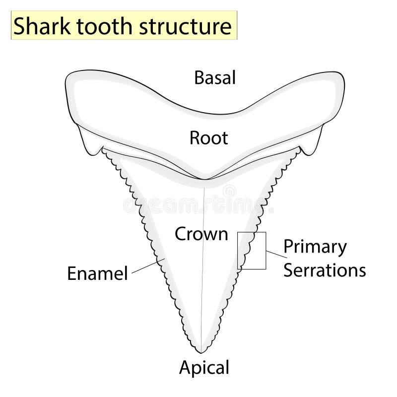 Arqueología, ictiología Estructure el tiburón del diente aislado en un fondo blanco Dental, medicina y pescados anatómico ilustración del vector