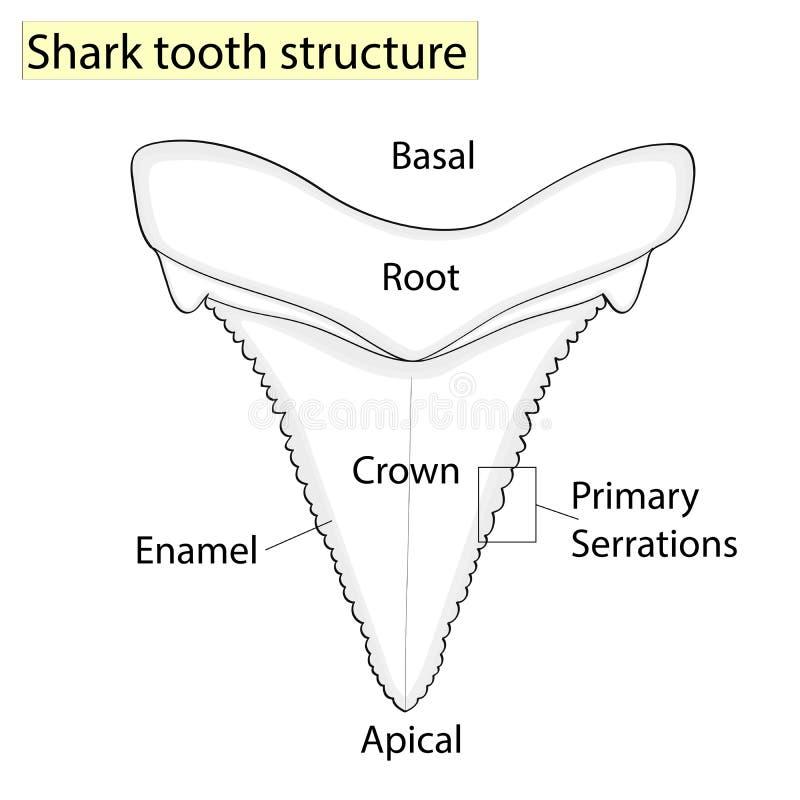 Arqueología, ictiología Estructure el tiburón del diente aislado en un fondo blanco Dental, medicina y pescados anatómico libre illustration