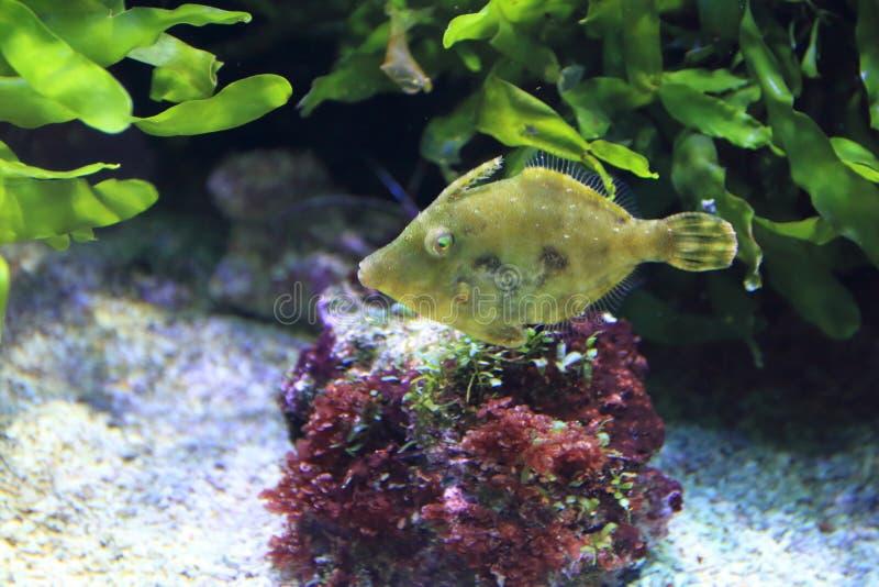 arquivo-peixes da Cerda-cauda imagens de stock royalty free