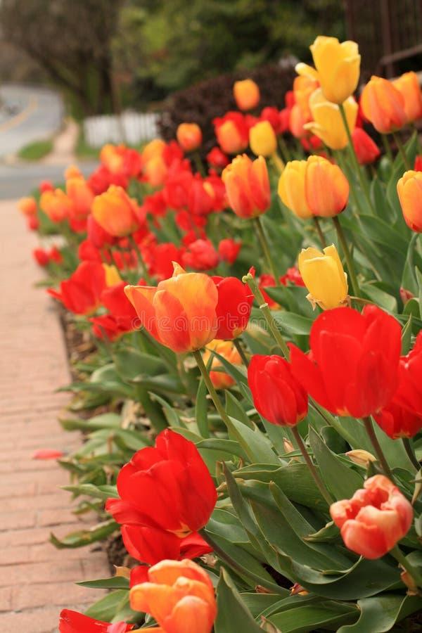 Arquivo vertical de uma flor alaranjada e amarela da tulipa no foco com outras tulipas vermelhas e amarelas em algum ajardinar fotos de stock