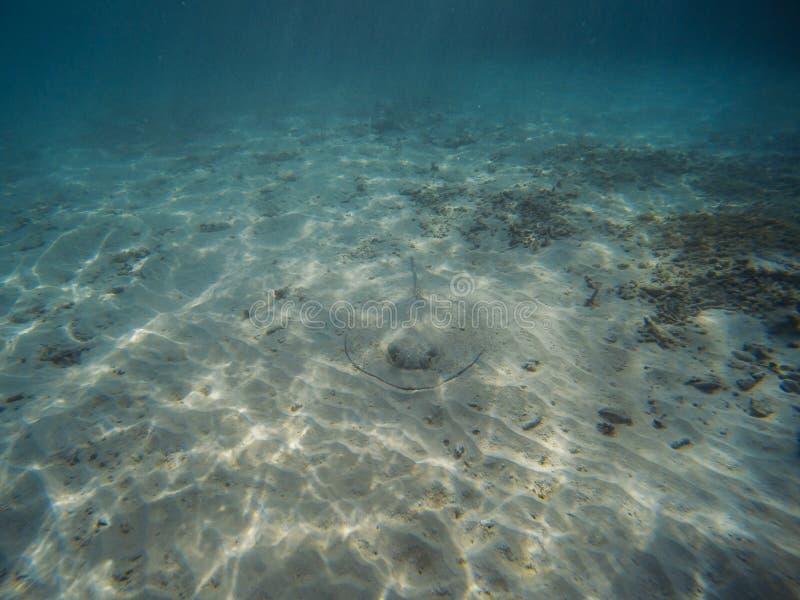 Arraia-lixa do sul na costa da praia fotos de stock royalty free