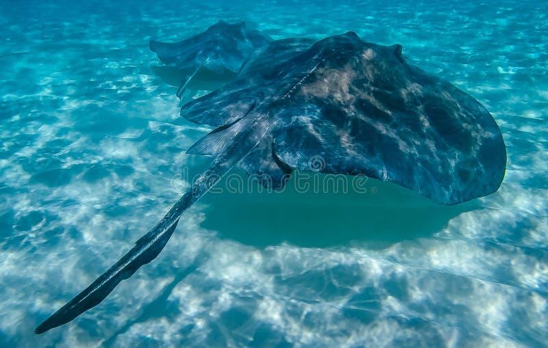 Arraia-lixa em Grand Cayman, Ilhas Caimão fotos de stock