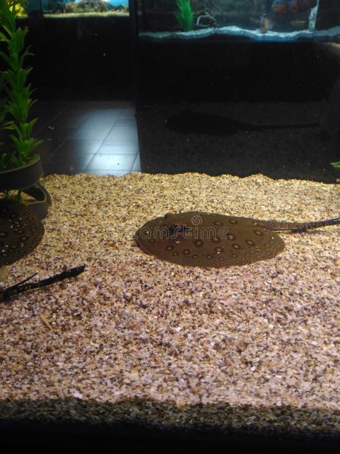 Arraia-lixa em um aquário fotos de stock royalty free