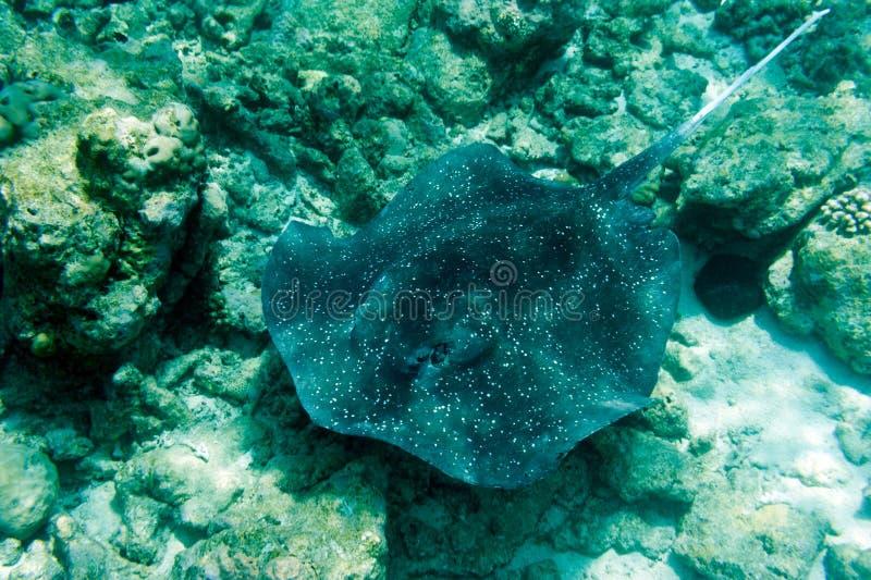 Arraia-lixa no mar foto de stock