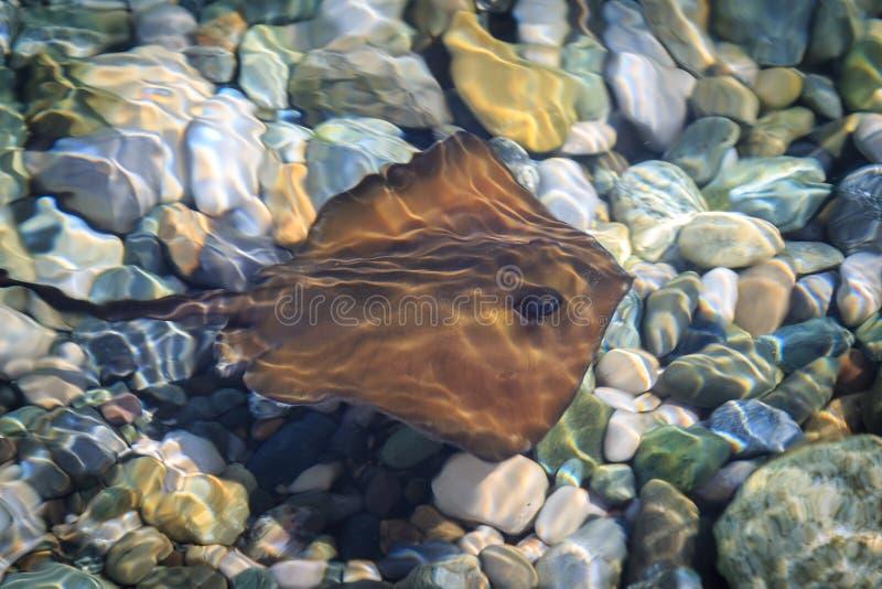 A arraia-lixa pequena nada na água pouco profunda na água salgada clara do mar no verão imagens de stock