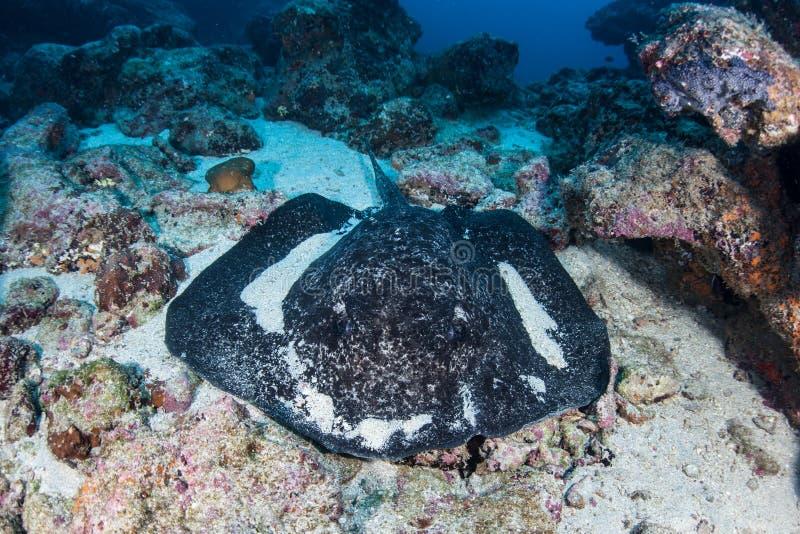 Download Arraia-lixa Preta-Blotched No Seafloor Foto de Stock - Imagem de peixes, diving: 65577310