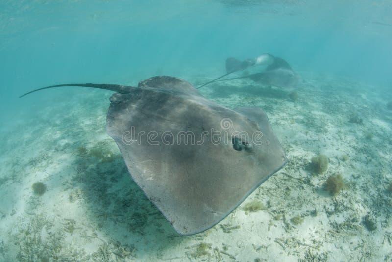 Arraias-lixa de Tahitian imagem de stock
