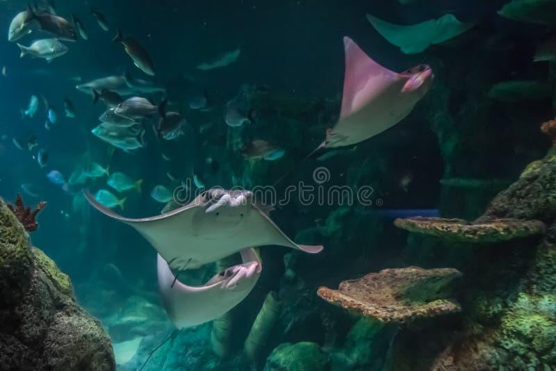 Arraias-lixa que nadam no aquário imagens de stock royalty free