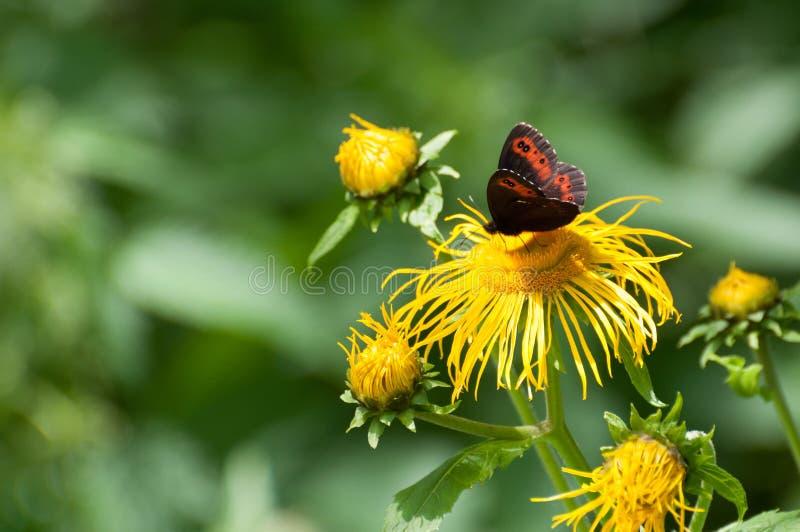 Arran brązowić motyla sprawdza kwiatu (Erebia ligea) obrazy royalty free