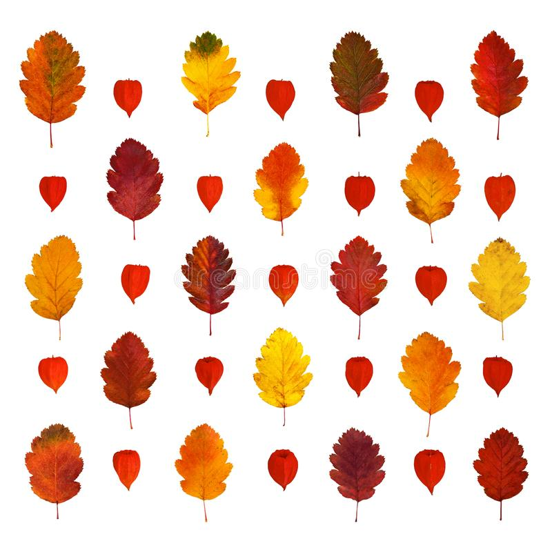 Arranged colorful yellow, red, orange, brown hawthorn fall leaves and physalis lanterns, isolated on white royalty free stock photography