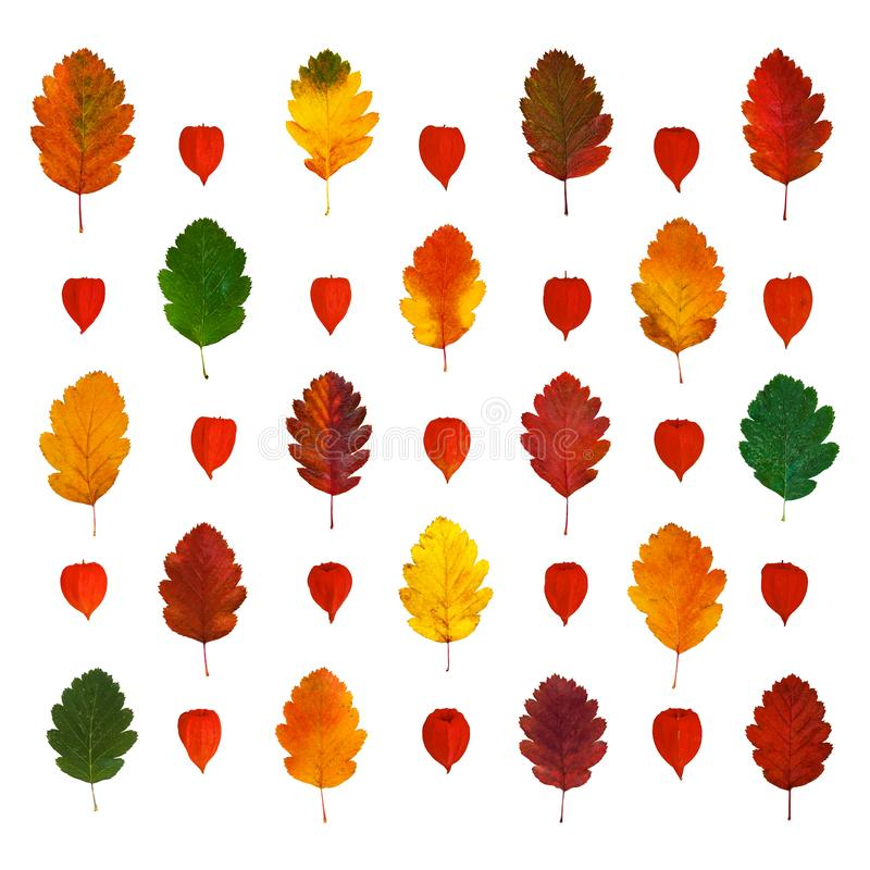 Arranged colorful yellow, red, orange, green hawthorn fall leaves and physalis lanterns vector illustration