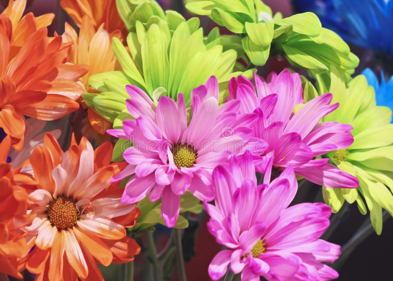 An Arrangement of Colorful Gerbera Daisy Flowers royalty free stock photography
