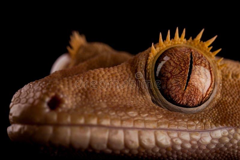 Gecko crêté photo libre de droits