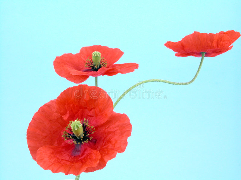 Arrangement of red poppies royalty free stock photos