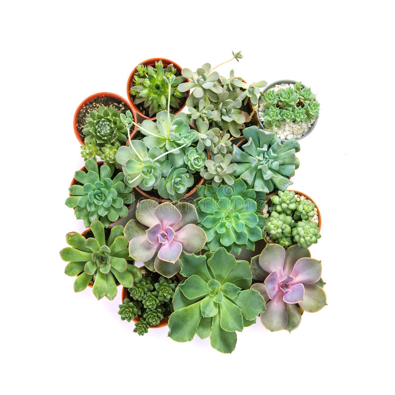arrangement of succulents or cactus on white background, overhead or top view stock image