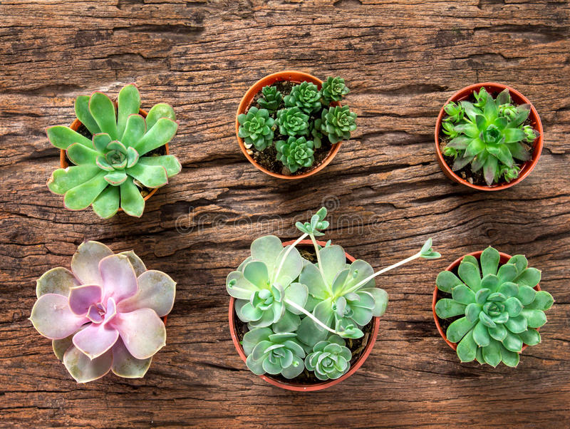 arrangement of succulents or cactus on wooden background, overhead or top view stock photos